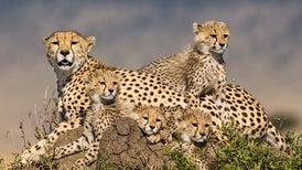 El guepardo corre hacia su extinción