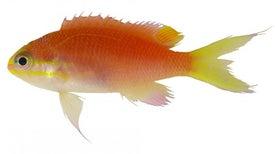 Nueva especie de pez hawaiano bautizado en honor a Barack Obama