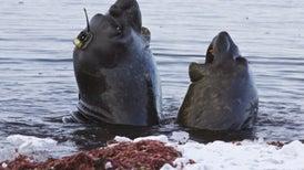 Elefantes marinos del sur ayudan a monitorizar el deshielo de la Antártida