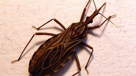Nuevos medicamentos y una vacuna buscan poner fin a la enfermedad de Chagas