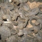 Crías de tortuga verde