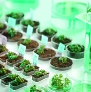 El sistema CRISPR podría ayudar a que cultivos genéticamente editados eludan regulaciones de bioseguridad