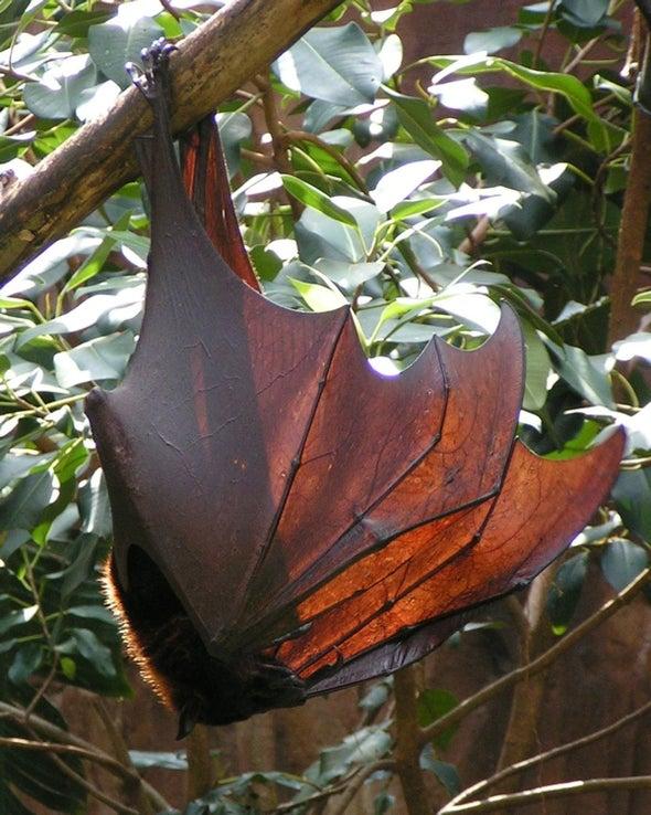 ¿Por qué los murciélagos son inmunes al ébola?