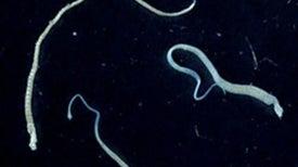 El increíble caso del parásito que transmitió sus células tumorales a un humano