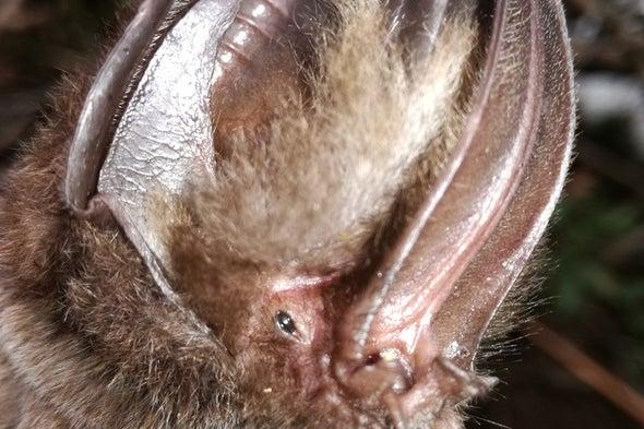 Identifican en Colombia nueva especie de murciélago con enormes orejas y nariz