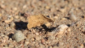 Frente al viento, las hormigas cortadoras de hojas muestran tenacidad e ingenio [con vídeo]