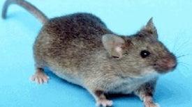 ¿Es el ratón el mejor modelo para investigar enfermedades humanas?