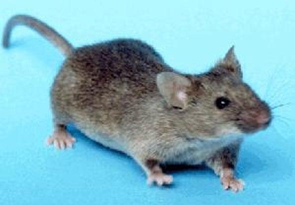 rata de cría biológica resistente a la diabetes