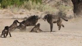 Infanticidio en el Reino Animal: ¿por qué machos matan a crías de su misma especie?