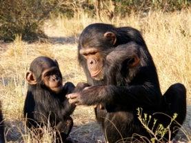 ¿Por qué los chimpancés son más fuertes que los seres humanos?
