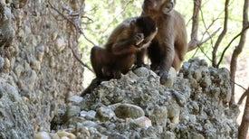 'Herramientas' de piedra de monos salvajes nos obligan a replantear la singularidad humana