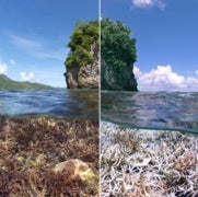 Blanqueamiento afecta a los corales del mundo