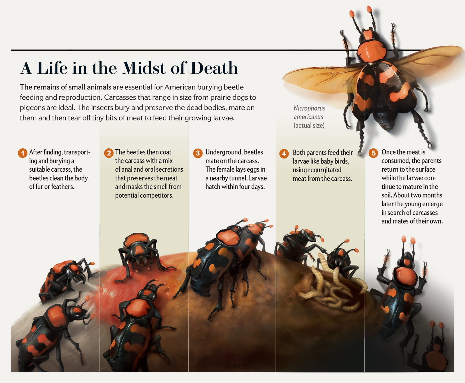 The Evolution Of A Scientific American Graphic Beetle
