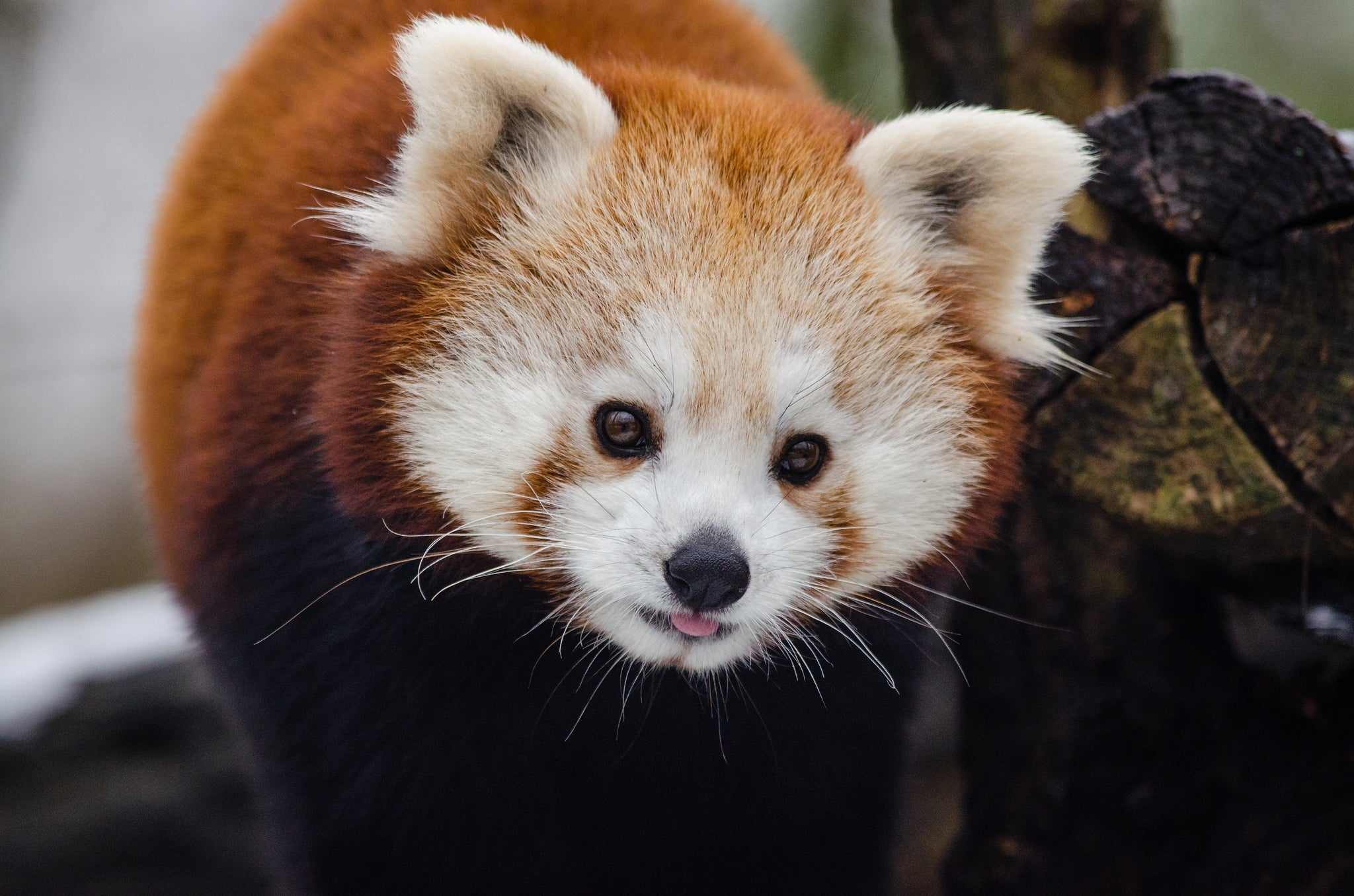 7 Things You Didn't Know About Red Pandas