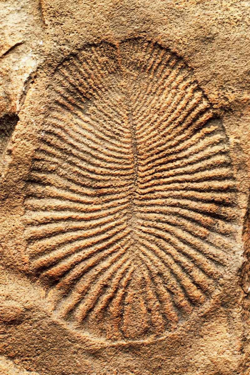Dickinsonia costata fossil