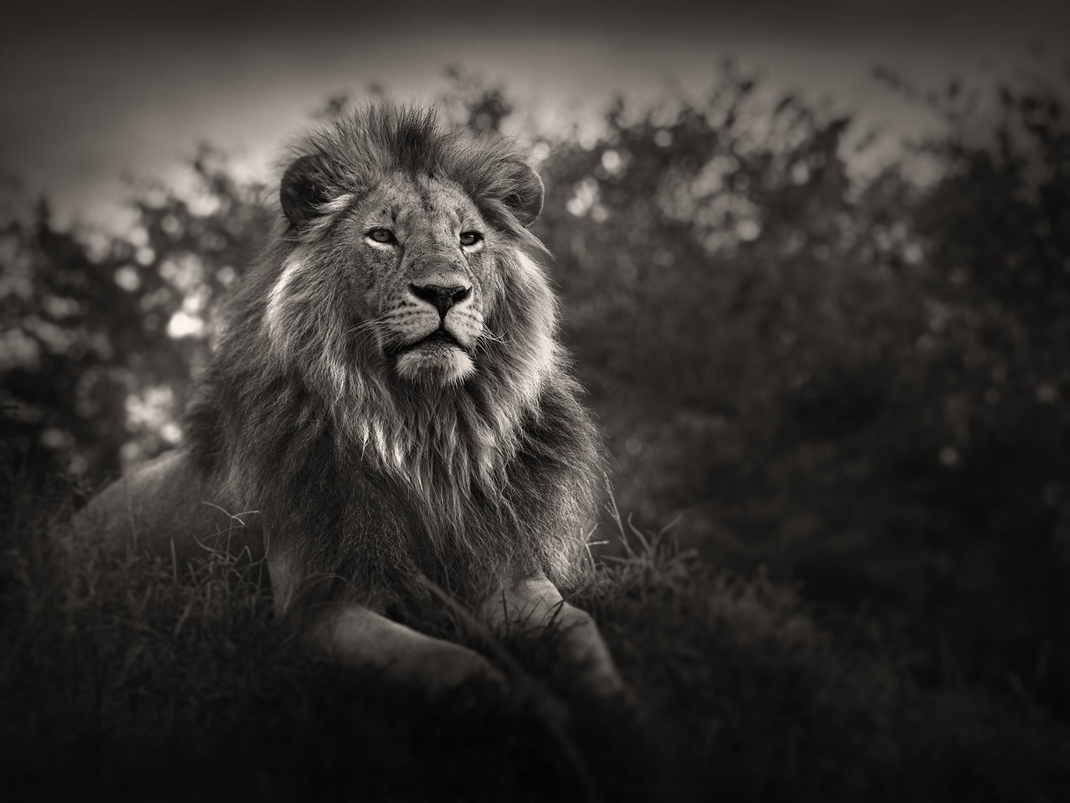 Male lion lying on grass.