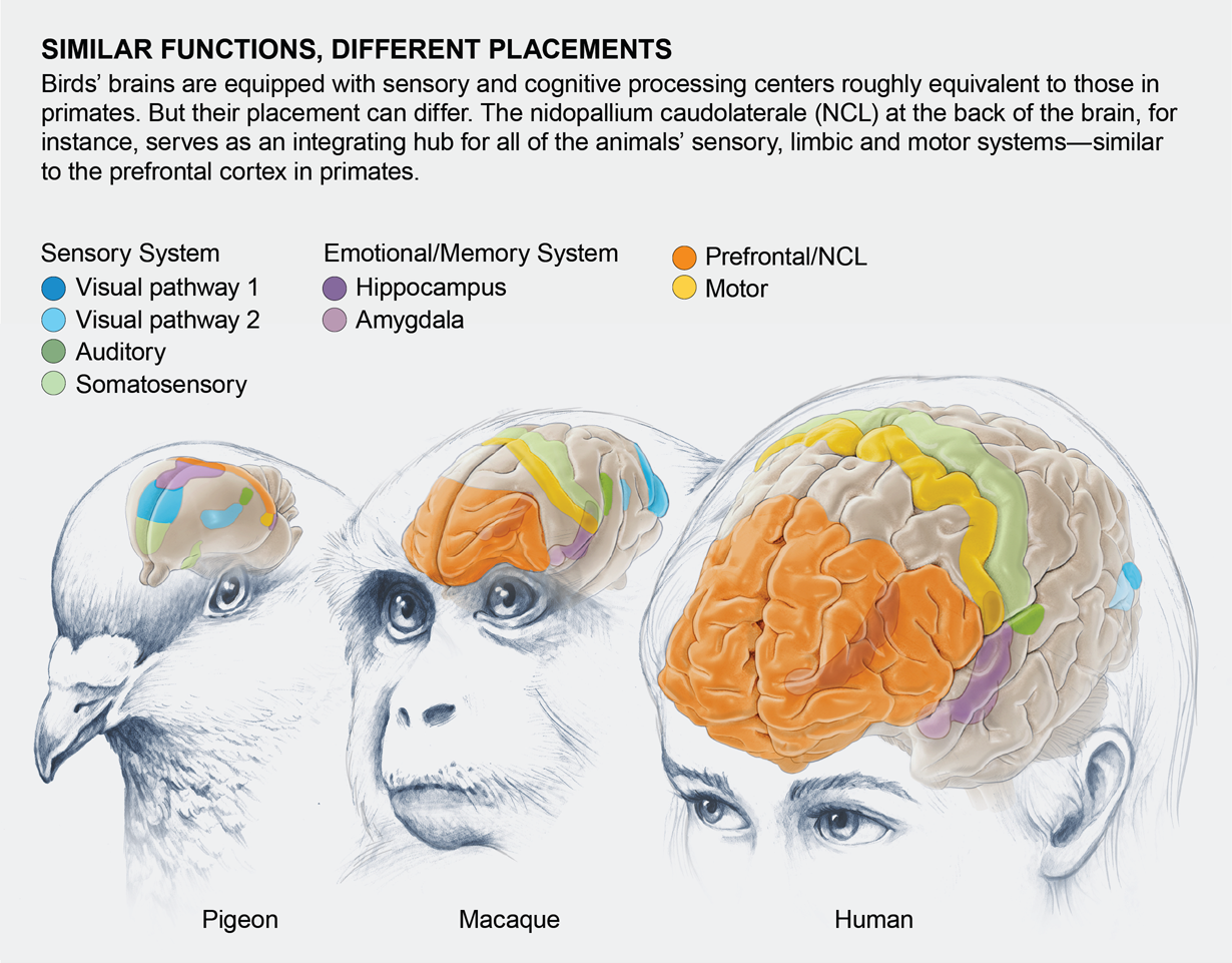 Illustration shows that although birds have brain processing centers that are similar in function to primate brains, they differ in placement.