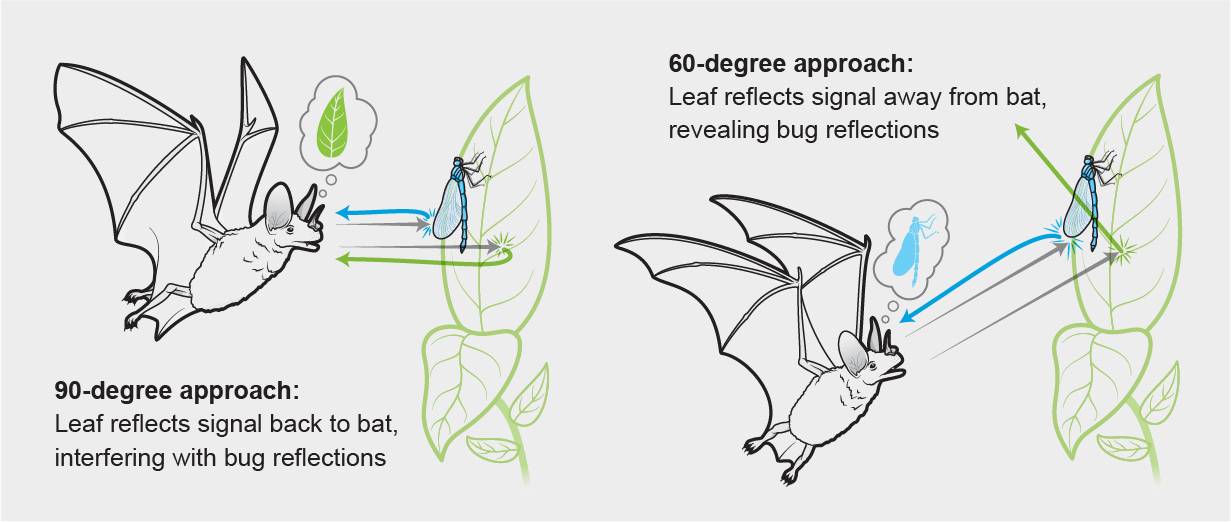 Graphic shows a bat hunting a bug on a leaf. Using an oblique approach, the bat isolates acoustic signals from the bug as leaf signals bounce away.