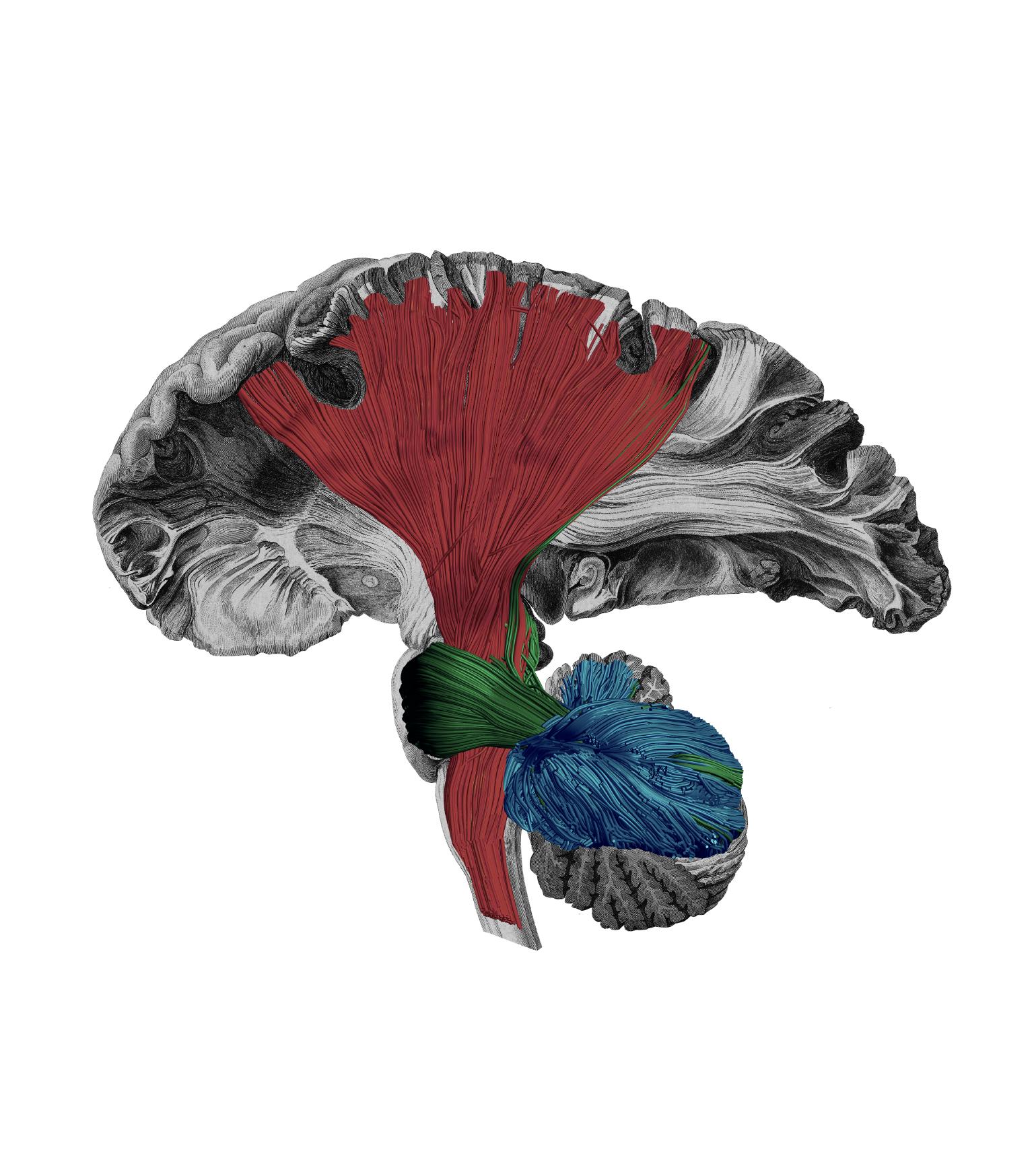 motor white matter networks human brain