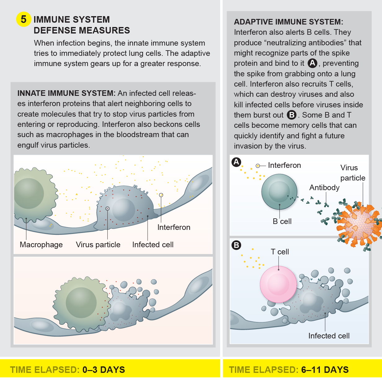 The immune system defense measures