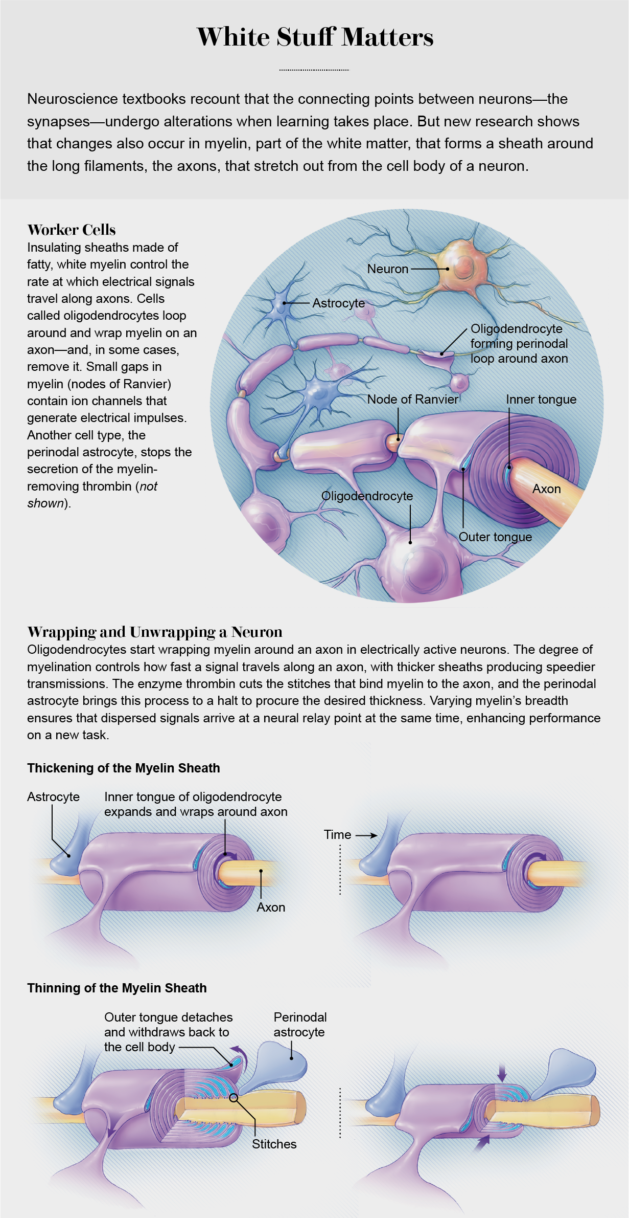 Illustration demonstrates how oligodendrocytes wrap around the axon of brain neurons, forming a dynamic sheath that can become thicker or thinner