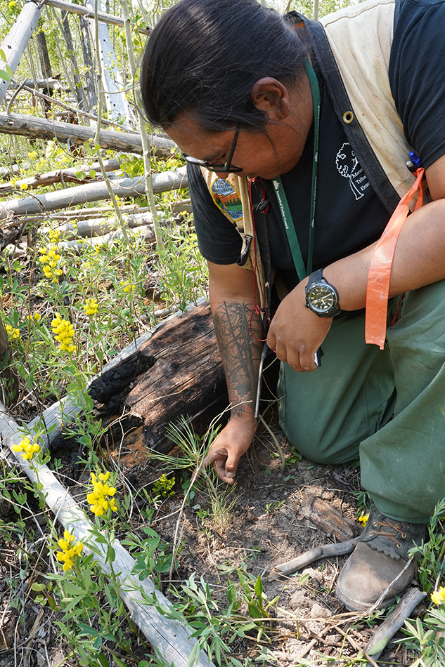 Chad Brown examines a seedling near a downed log in the Las Conchas burn scar.