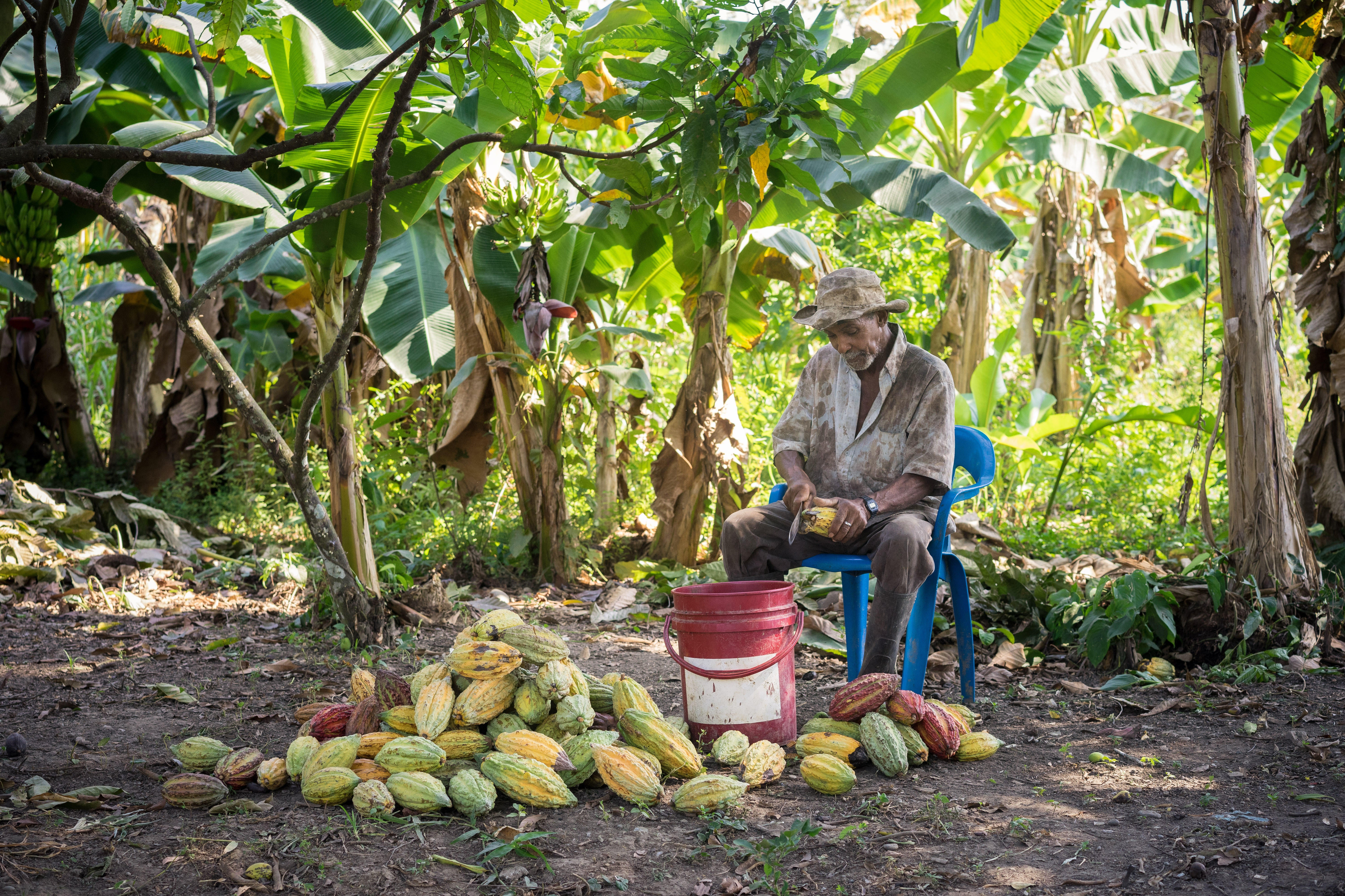 A farmer cuts into the rind of ripe cocoa pods to remove the pulp and cocoa seeds.