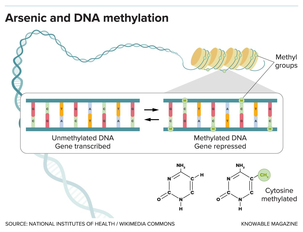 Arsenic and DNA methylation.