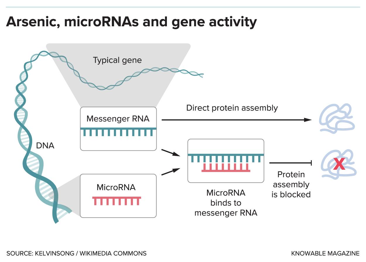 Arsenic, microRNAs and gene activity.