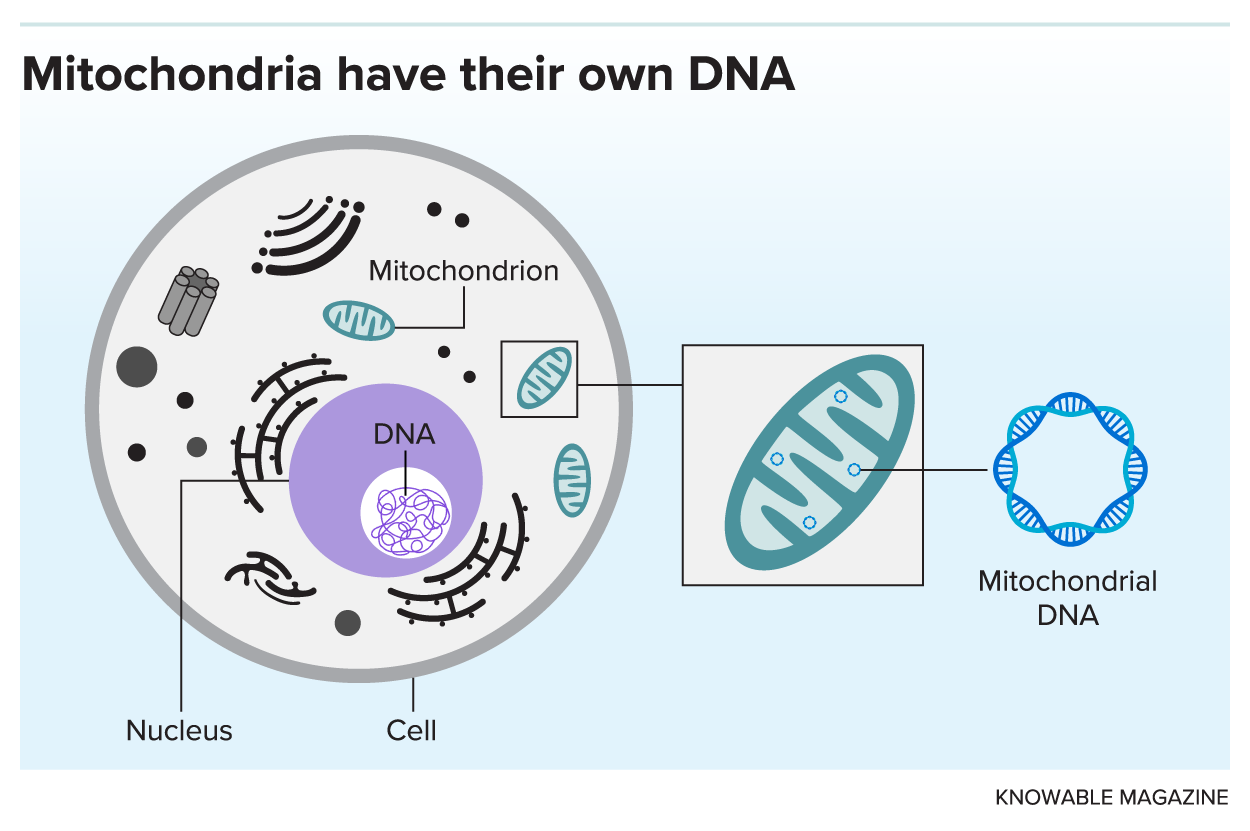 Graphic illustrates a eukaryotic cell, showing the location of large mass of nuclear DNA inside the cell nucleus and the small bits of DNA carried within each mitochondrion.