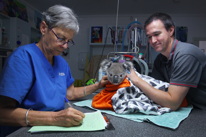 Koala gets a health check at the Port Macquarie Koala Hospital in New South Wales, Australia.