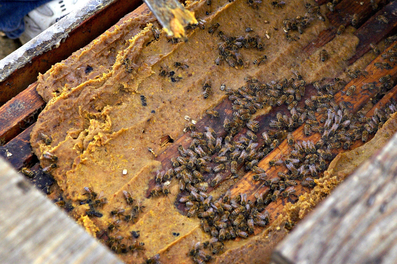 Honeybees feeding on bulk nectar.