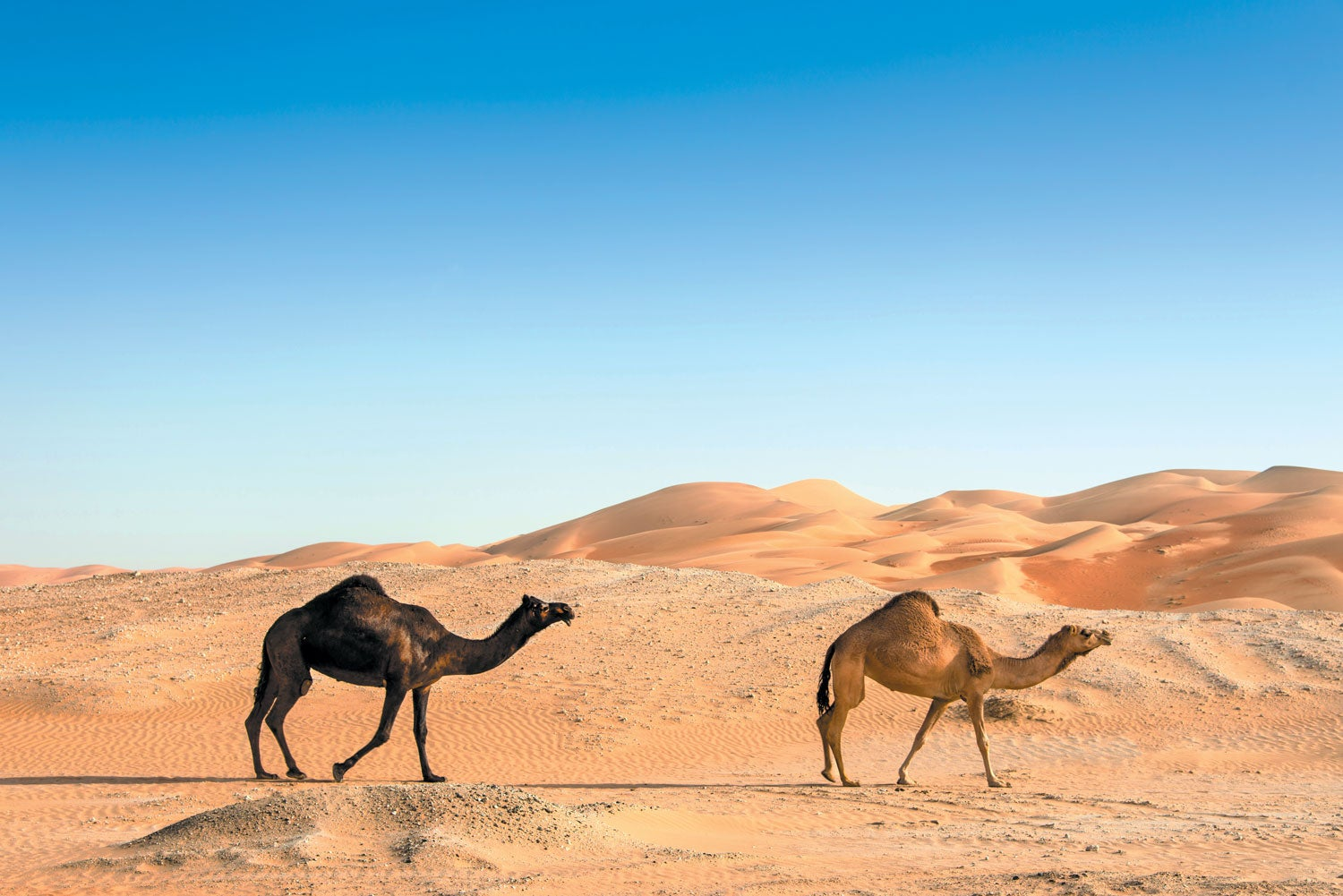 Two camels walking in the desert.