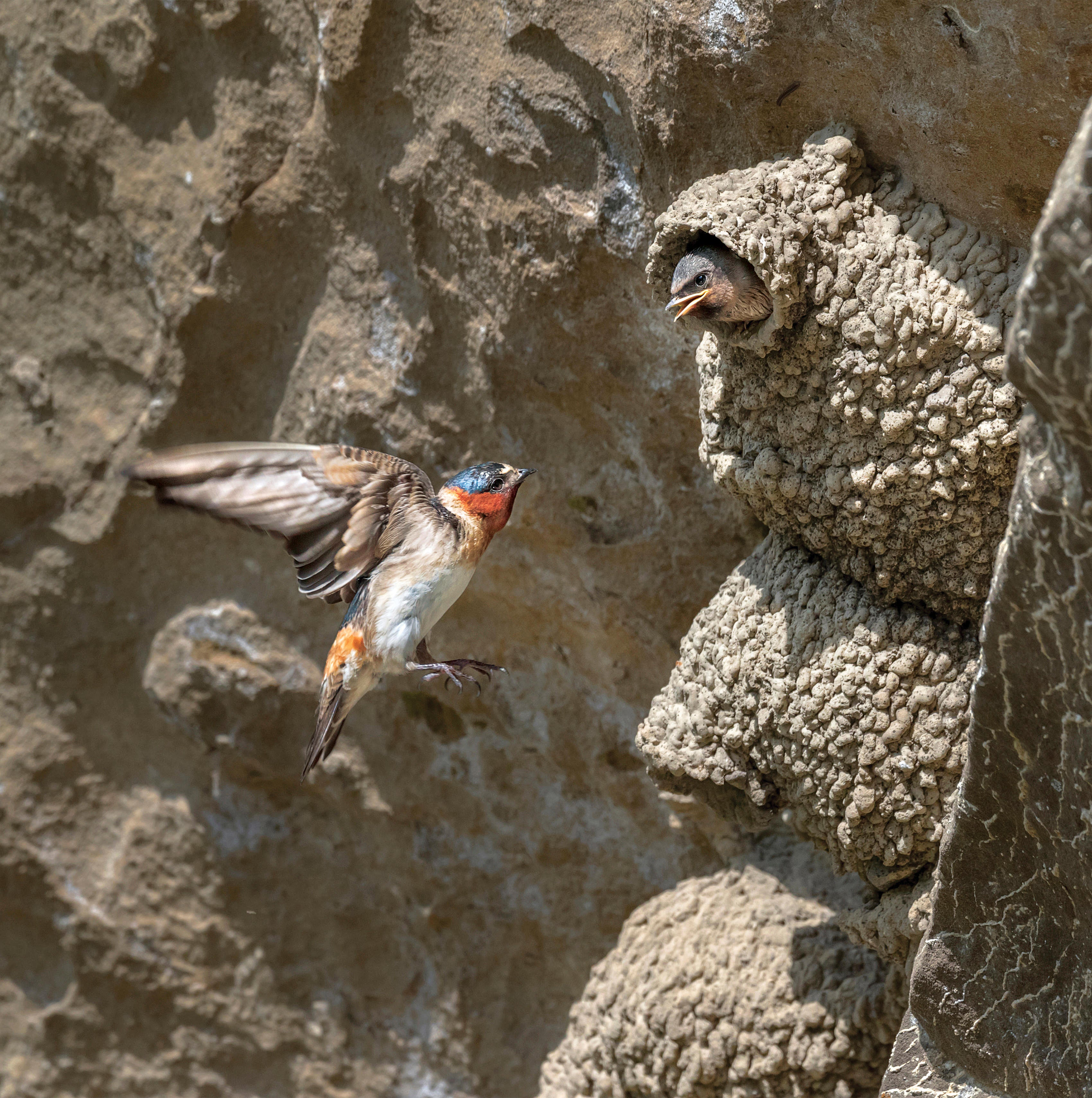Cliff Swallow.