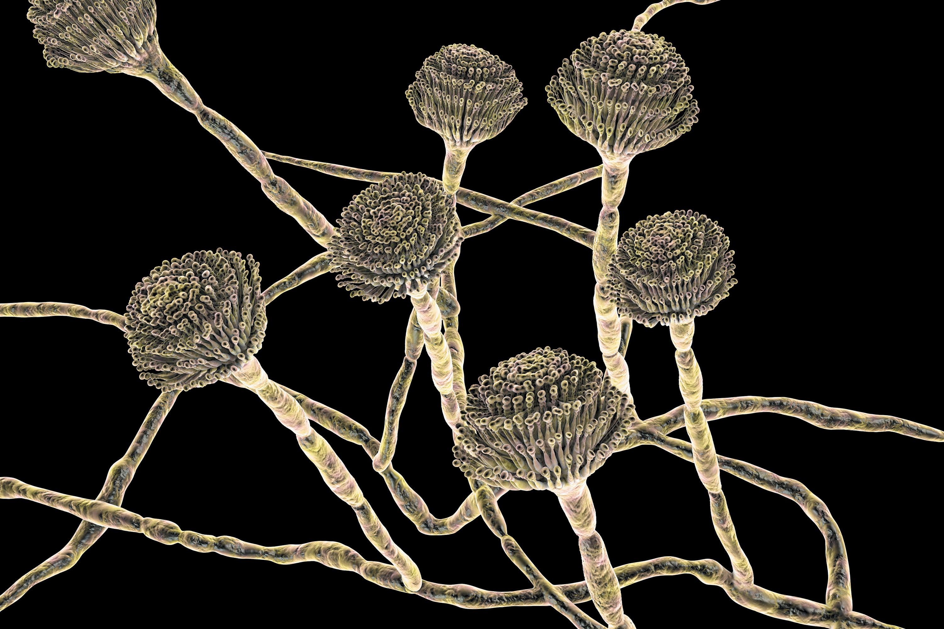 A closeup of Aspergillus fumigatus fungi