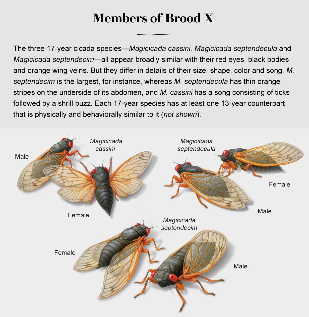 Illustrations show the three 17-year cicada species—Magicicada cassini, Magicicada septendecula and Magicicada septendecim.