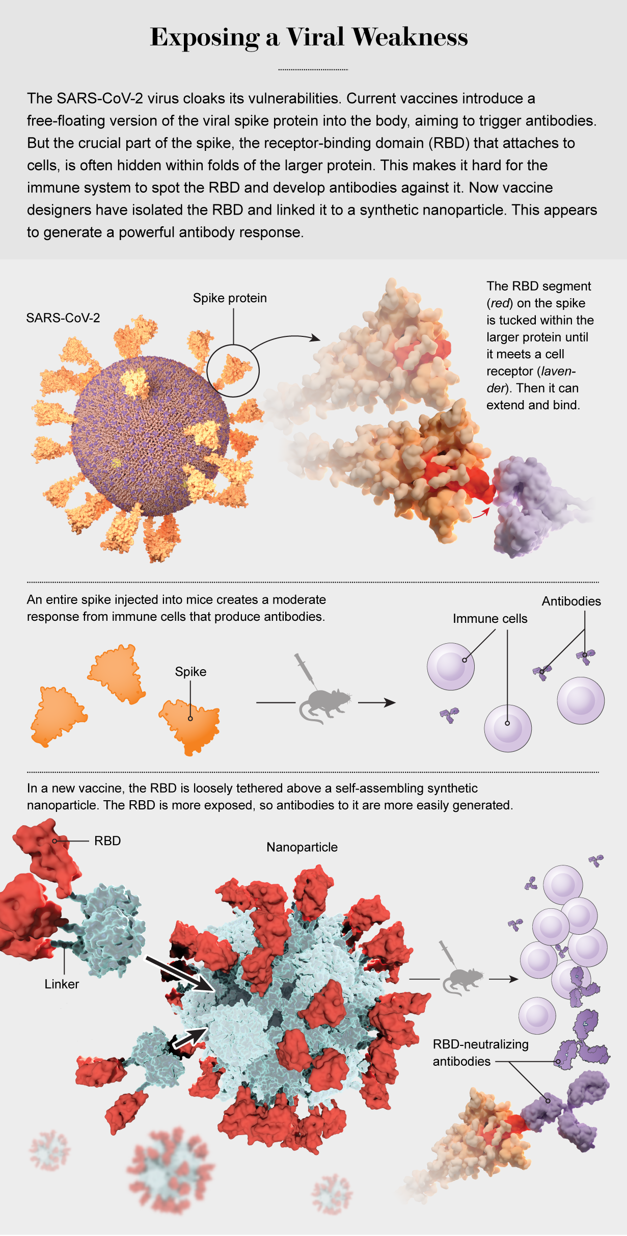 Graphic shows how injecting nanoparticles with SARS-CoV-2 RBD segments attached can generate antibodies in mice.