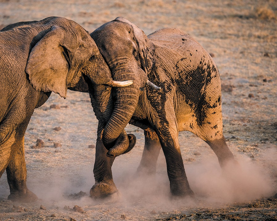 Two elephants playing (sparring).