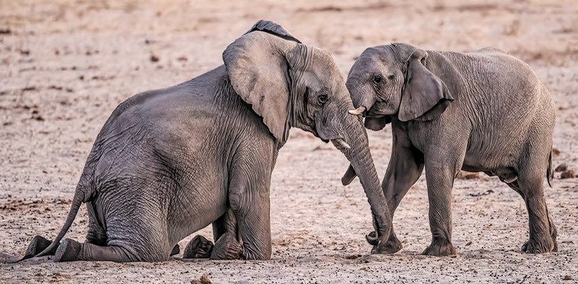 An older elephant kneels down to provide an opportunity for a young male relative to spar.
