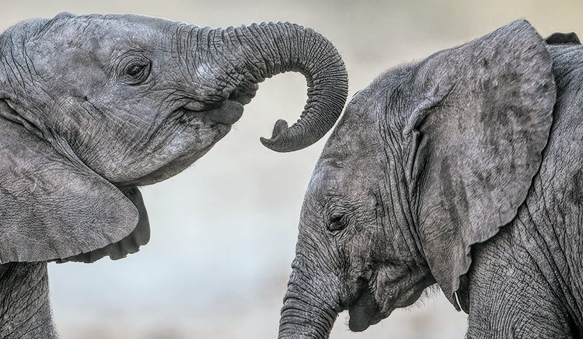 Elephant calves extend an invitation to play by placing their trunk over another's head.