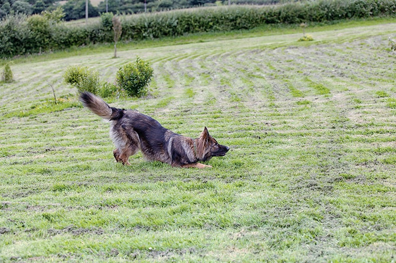 Adult German Shepherd bowing at a park.