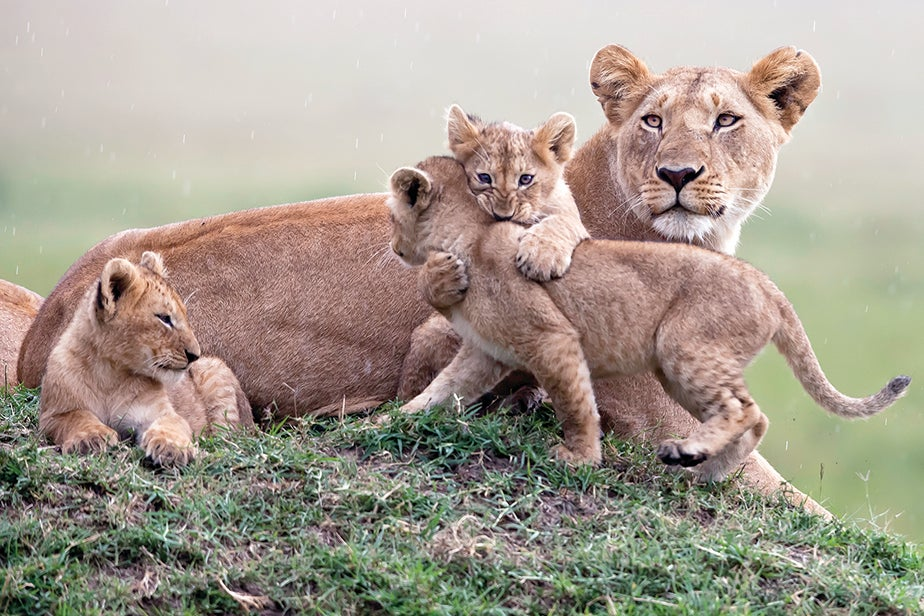 Three lion cubs (two of them playing) guarded by an adult.