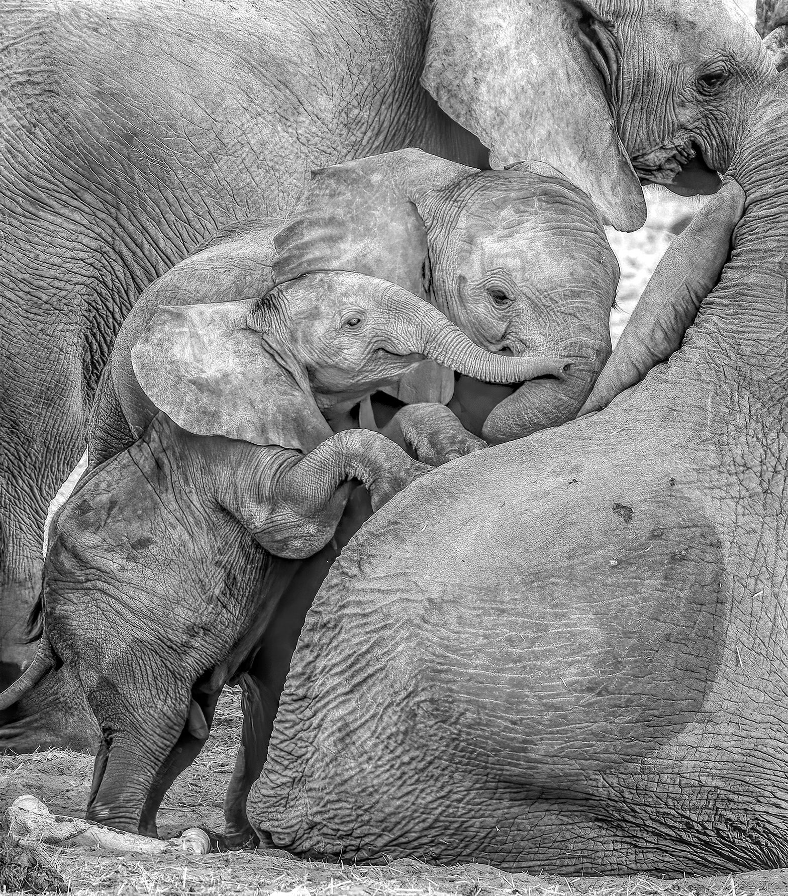 Young elephant piling on top of several family members.