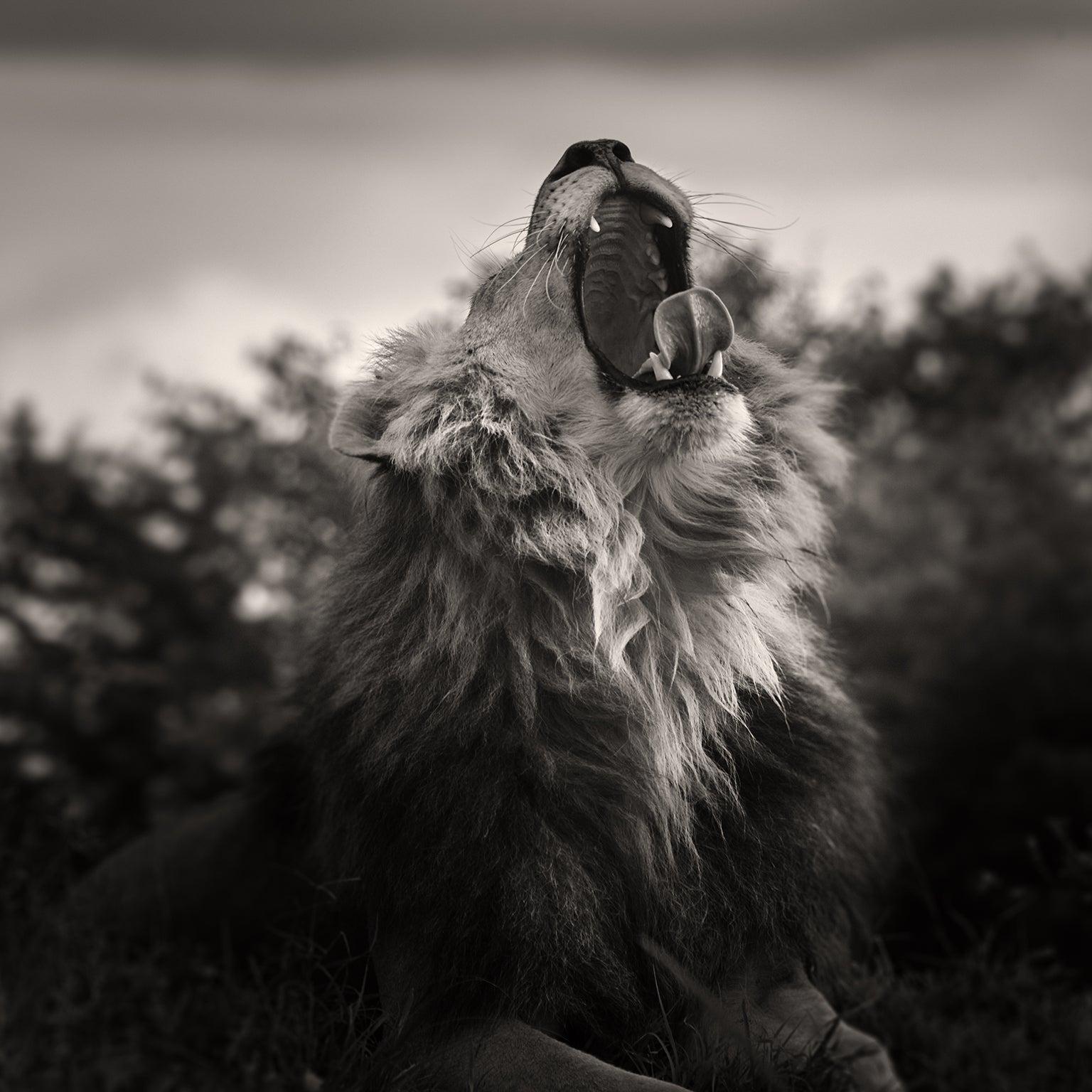 Yawning  male lion.