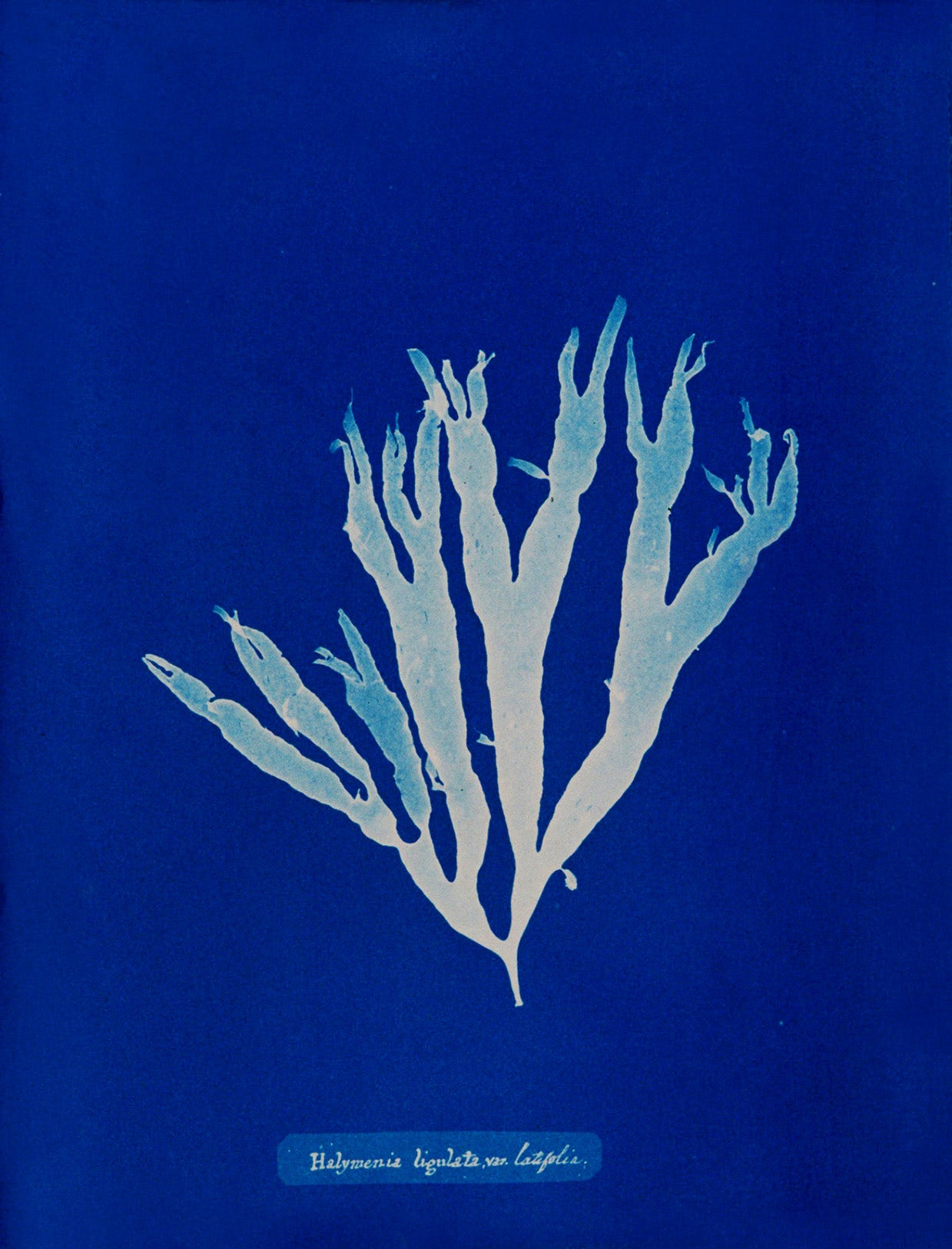 Furcellaria fastigiata.