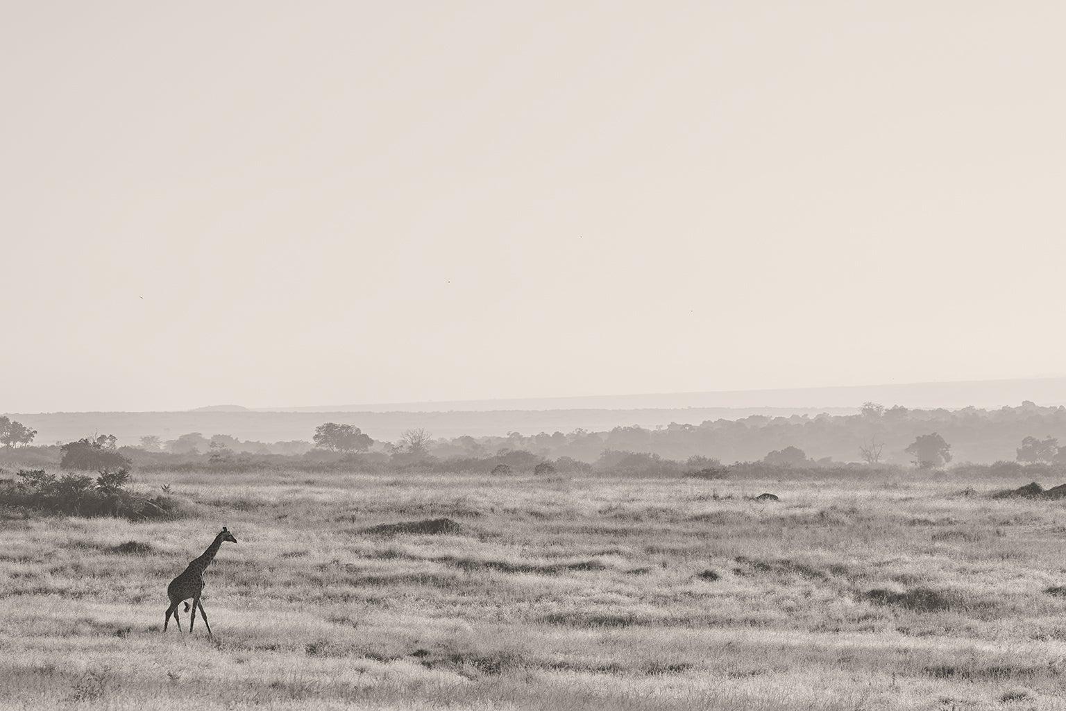 Lone giraffe walking at sunrise.
