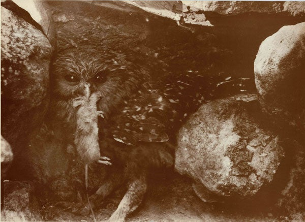 extinct animals lost to planet earth but preserved in  photo credit laughing owl photographed by brothers cuthbert and oliver parr near raincliff station south canterbury