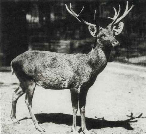 extinct animals lost to planet earth but preserved in  photo credit a photograph taken during 1911 at a berlin zoo showing a captive schomburgk s deer photographer unknown