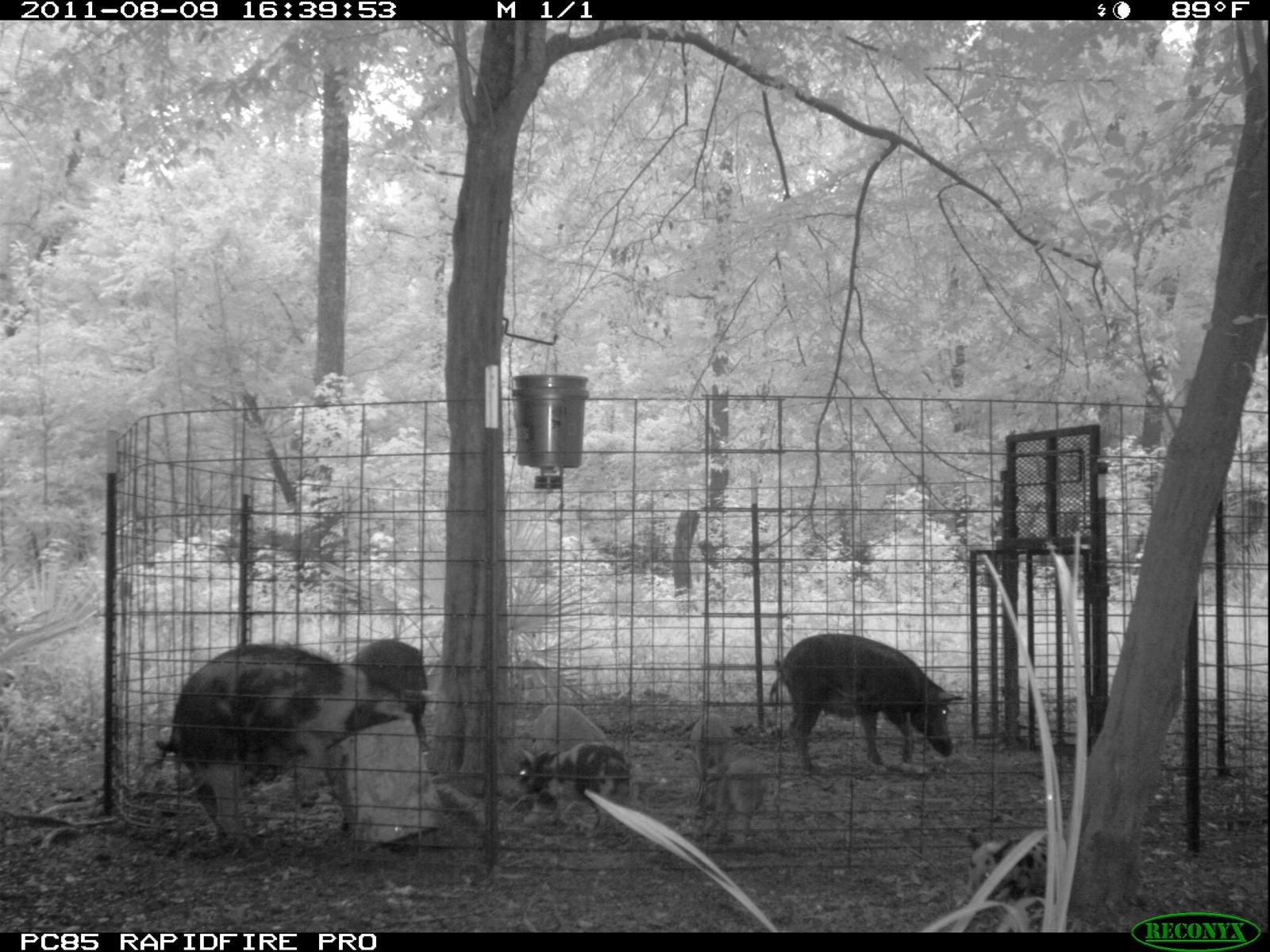 Can Wild Pigs Ravaging The U S Be Stopped