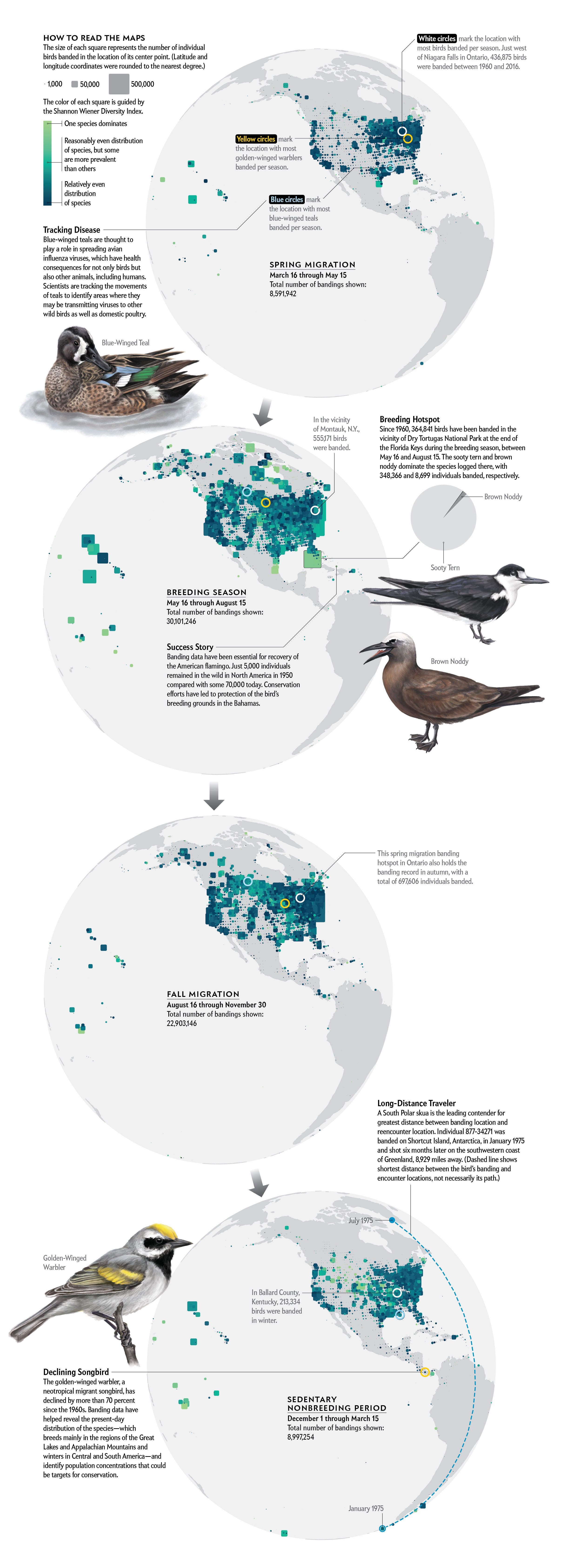 Four maps highlight diversity of species and number of birds banded by location in North America during each season